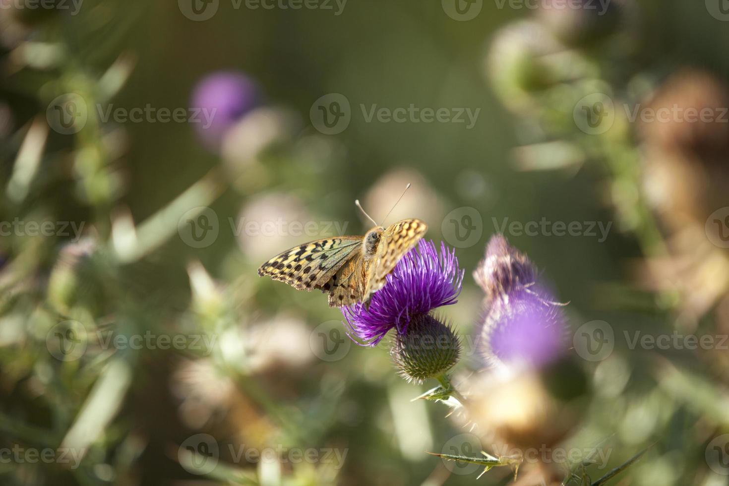 vlinder en distel bloem foto