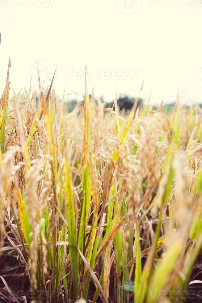 rijst in Bali foto