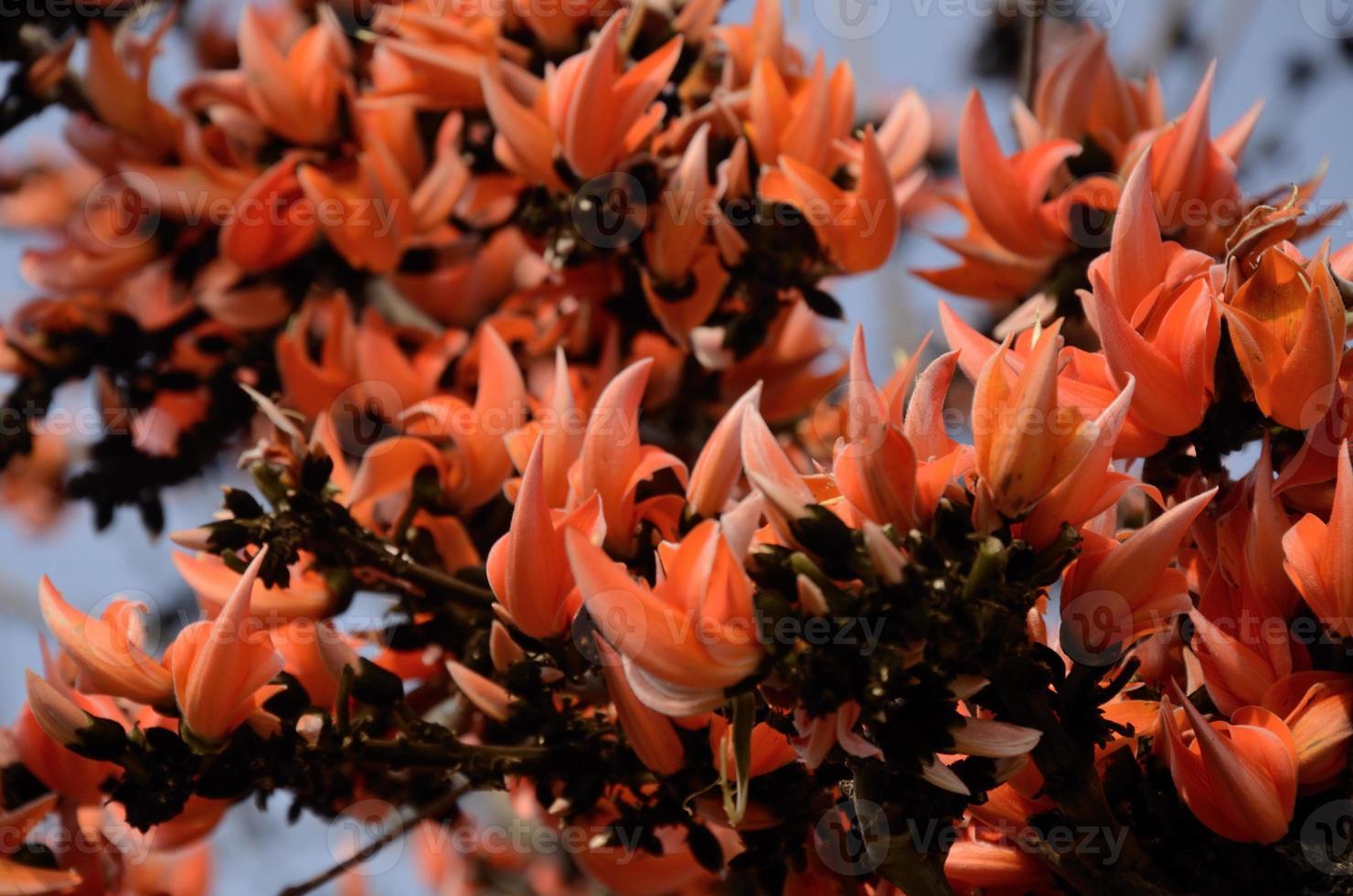 butea monosperma bloem foto