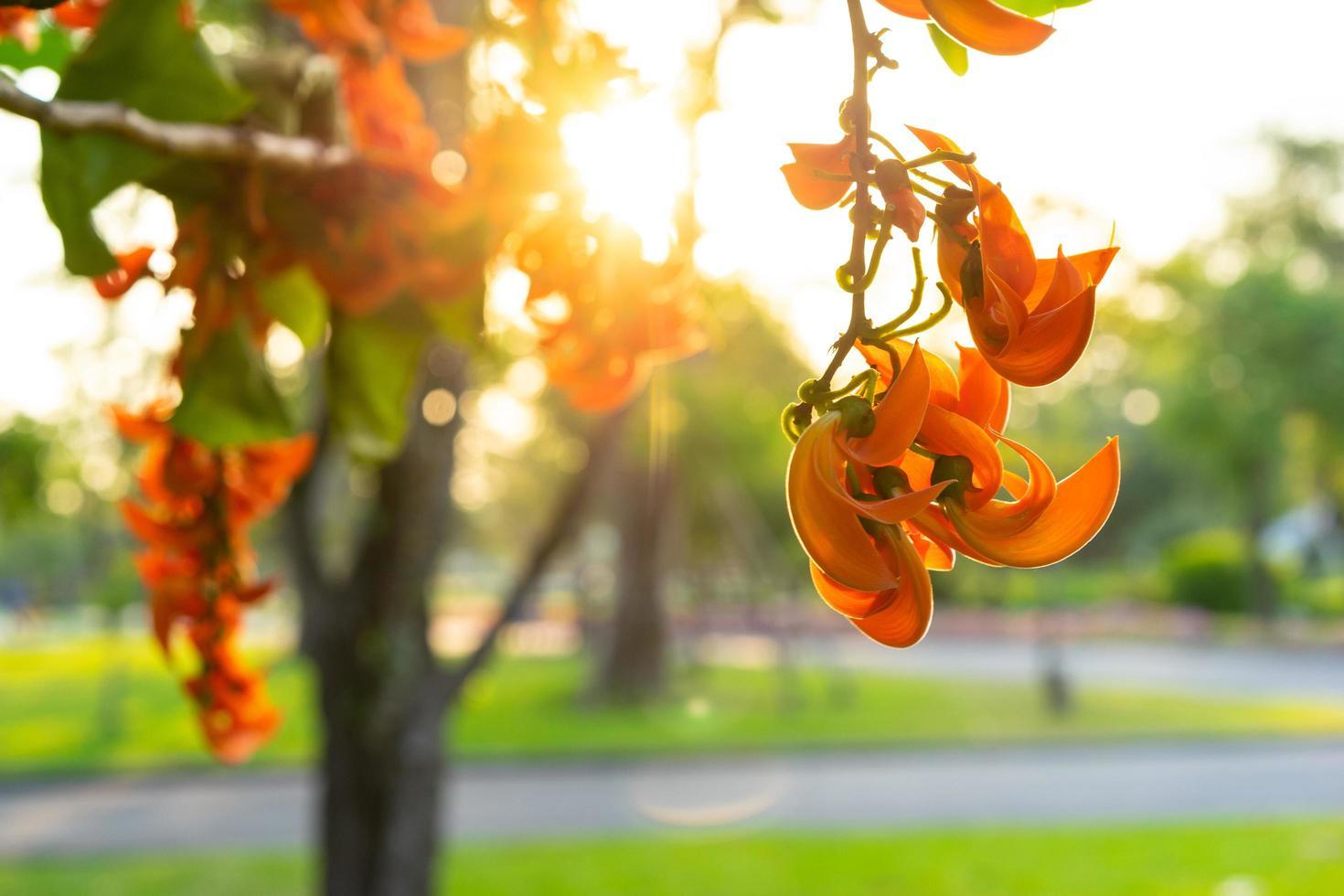 butea monosperma bloem verlicht door de zon foto
