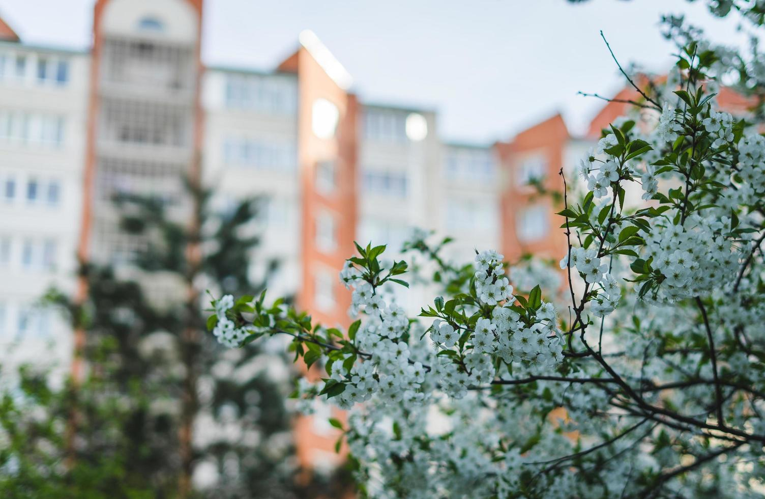 de witte kers komt boom tot bloei foto