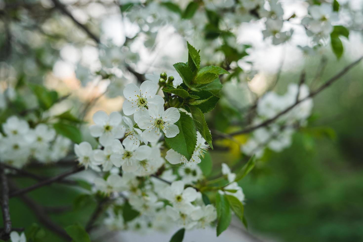 witte bloesems op boom foto