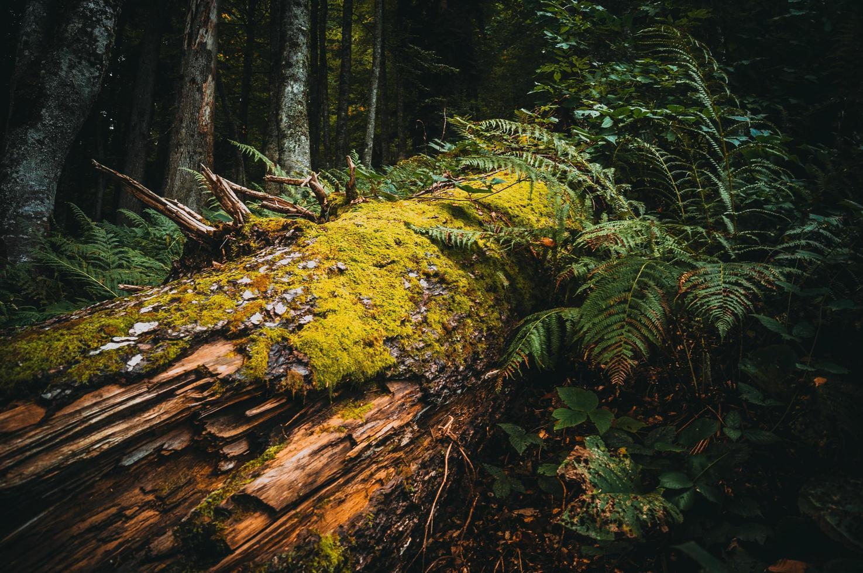 omgevallen boom in het bos foto