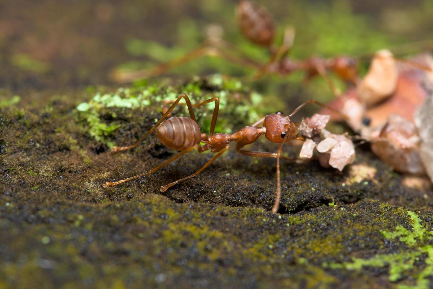 rode mieren in de natuur foto