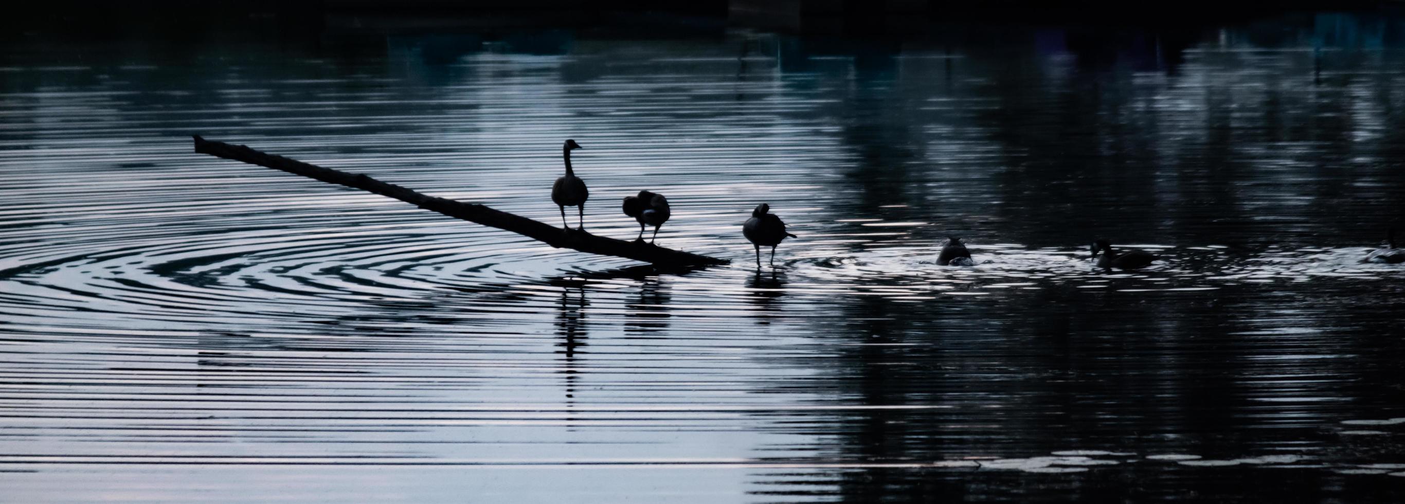 zwanen op het water foto
