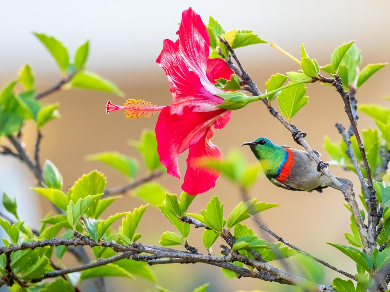 zuidelijke dubbel-collared sunbird op hibiscusboom foto