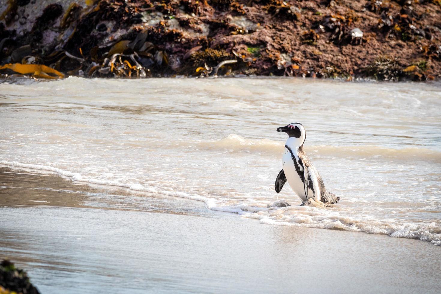 pinguïn die op strand loopt foto