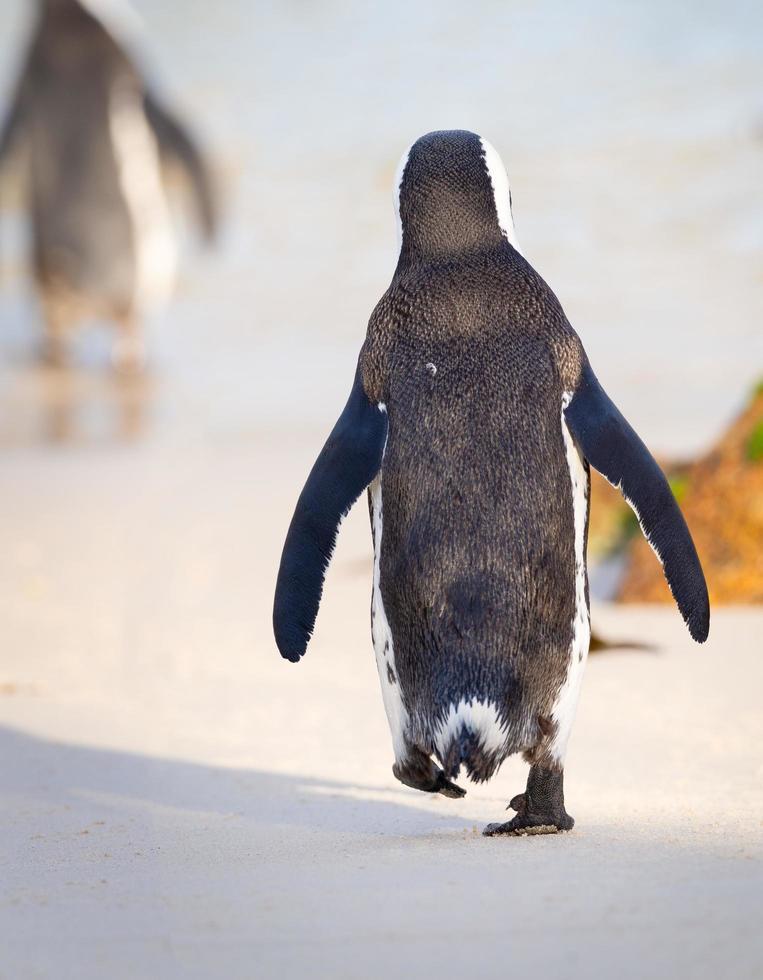 pinguïn wandelen op het strand foto