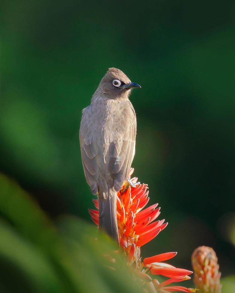 Kaap bulbul vogel op rode bloem foto