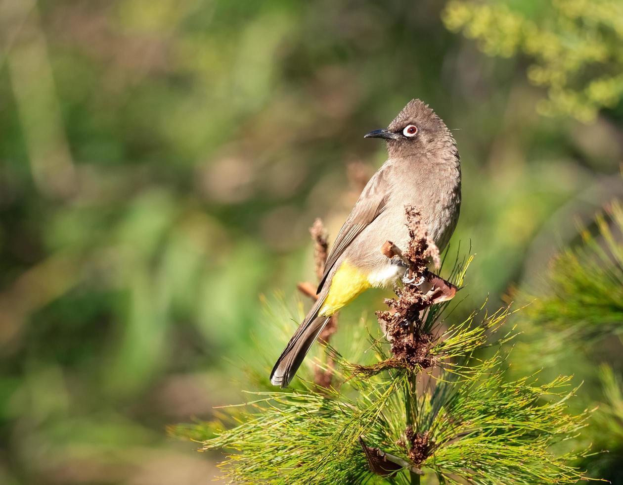 close-up van de vogel van kaapbulbul foto