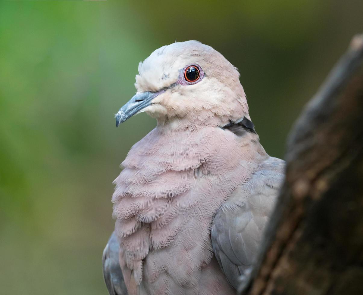 close-up van duif met rode ogen foto