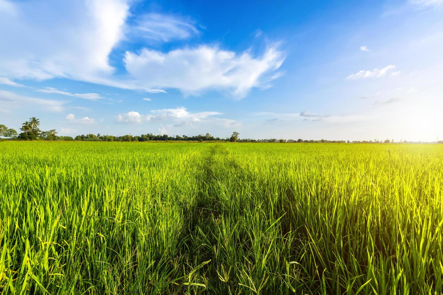 heldergroen zonnig korenveld foto