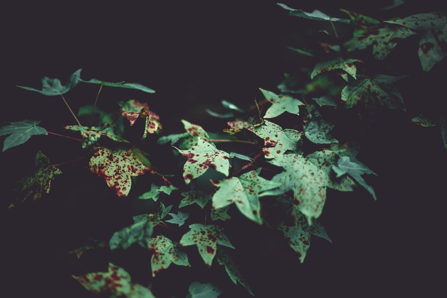 sweetgum vertrekt in de herfst foto