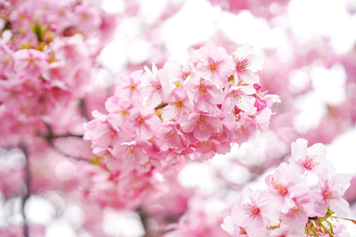 close-up van roze kersenbloesems foto