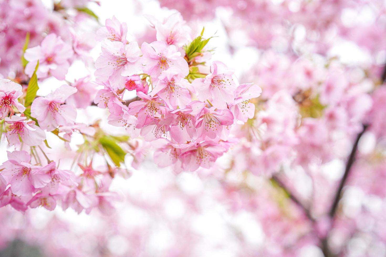 roze sakura kersenbloesem bloem foto