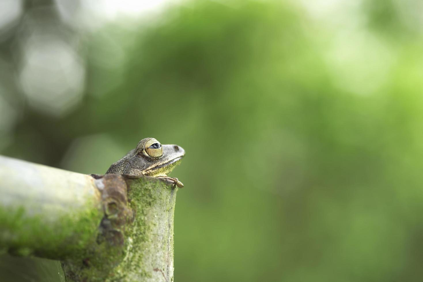 gemeenschappelijke boomkikker in stalen buis foto