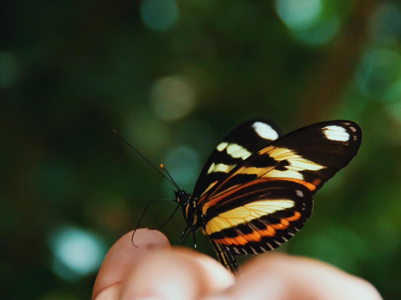 monarchvlinder op vingertoppen foto