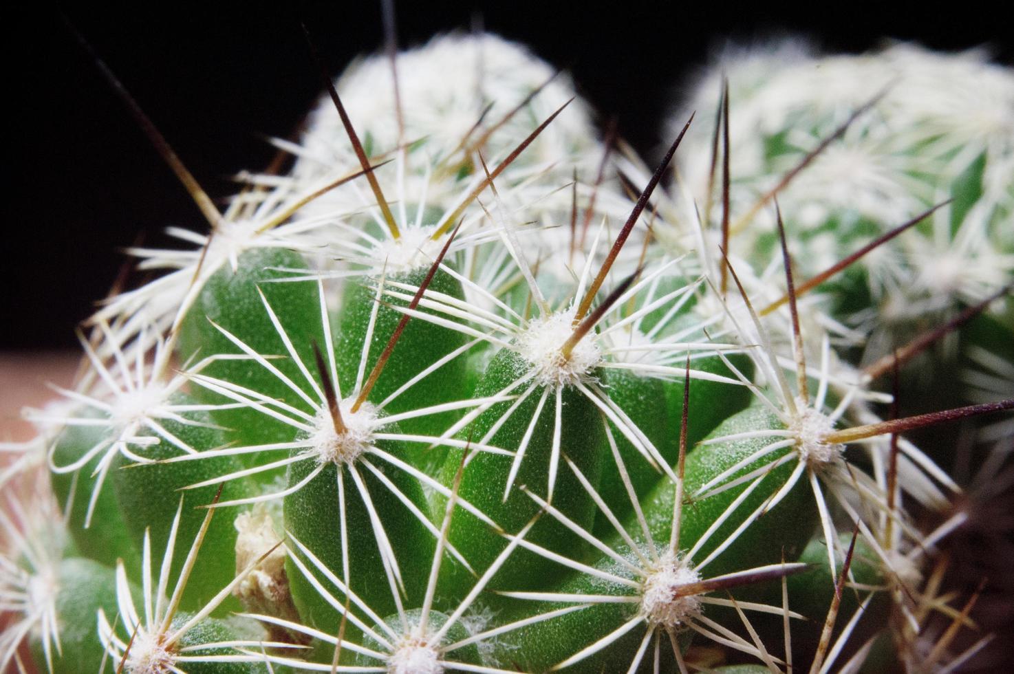 cactus close-up foto