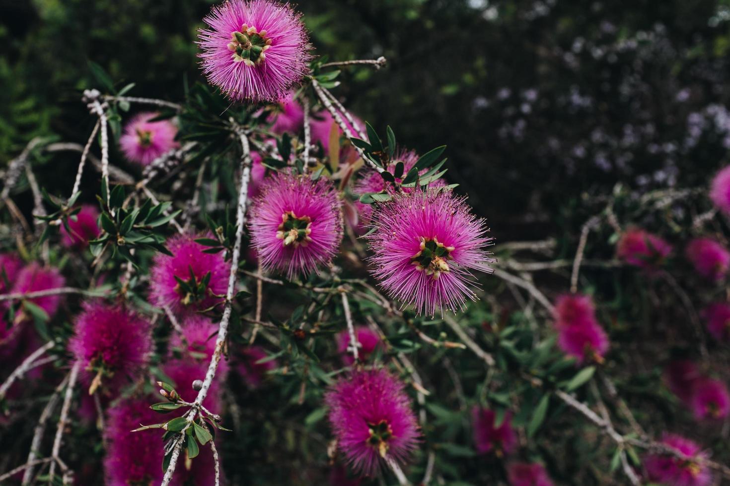 dichtbij schot van roze bloemen foto