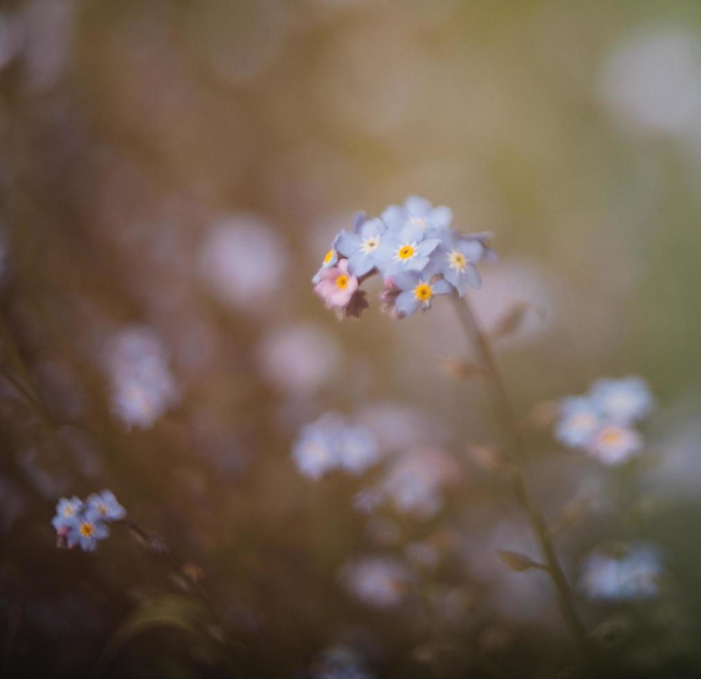 witte en blauwe bloemen in tilt shift lens foto