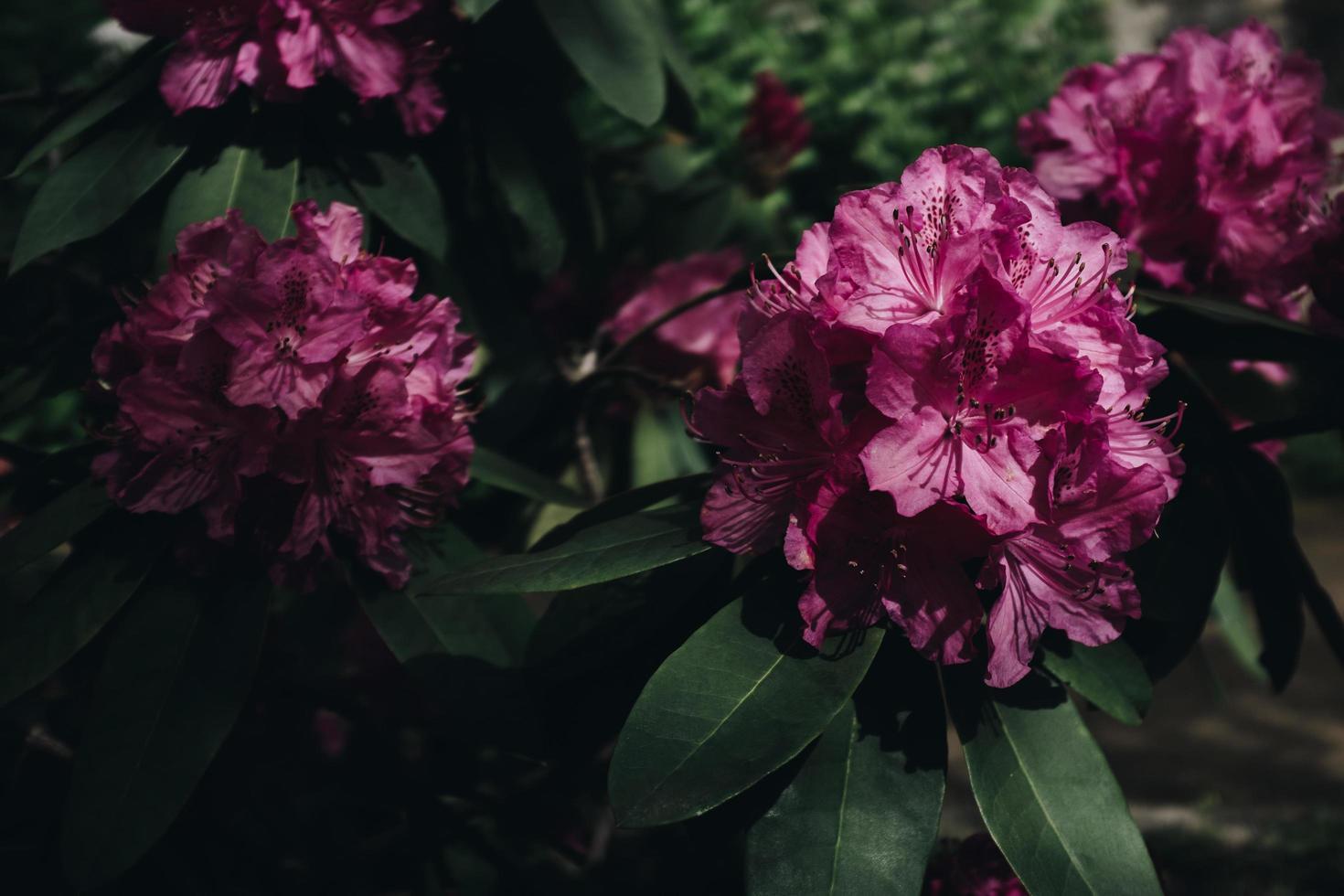 roze bloemblaadjes foto