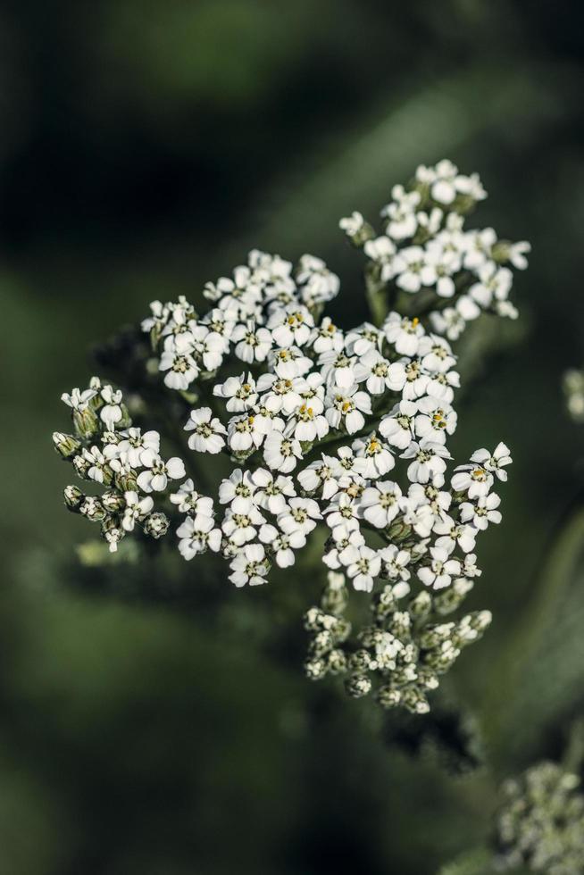 witte bloemknoppen in tilt shift lens foto