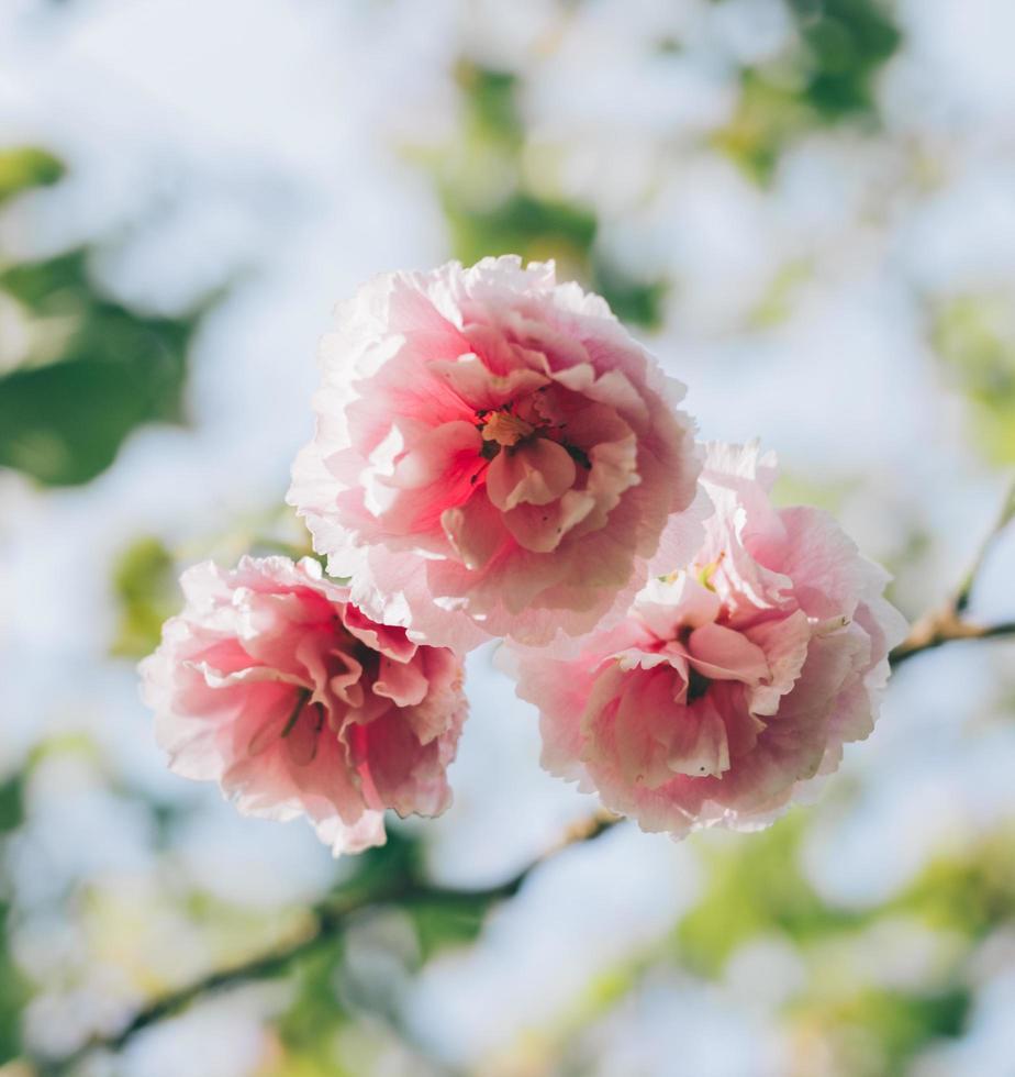 roze bloemen in de zon foto
