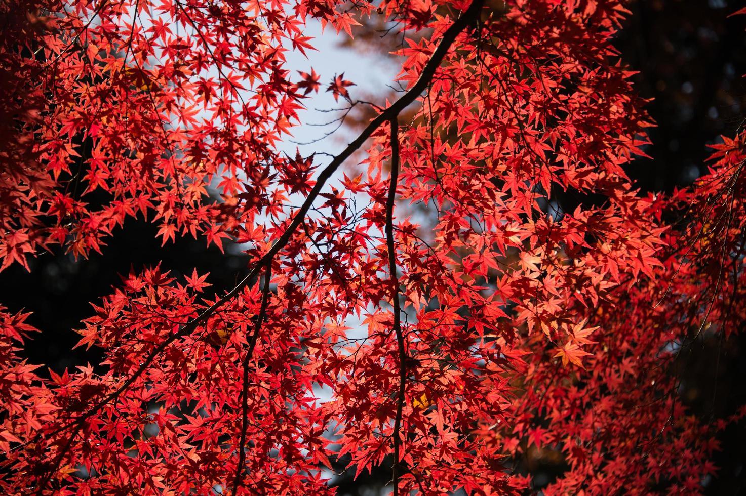rode esdoorns bladeren foto