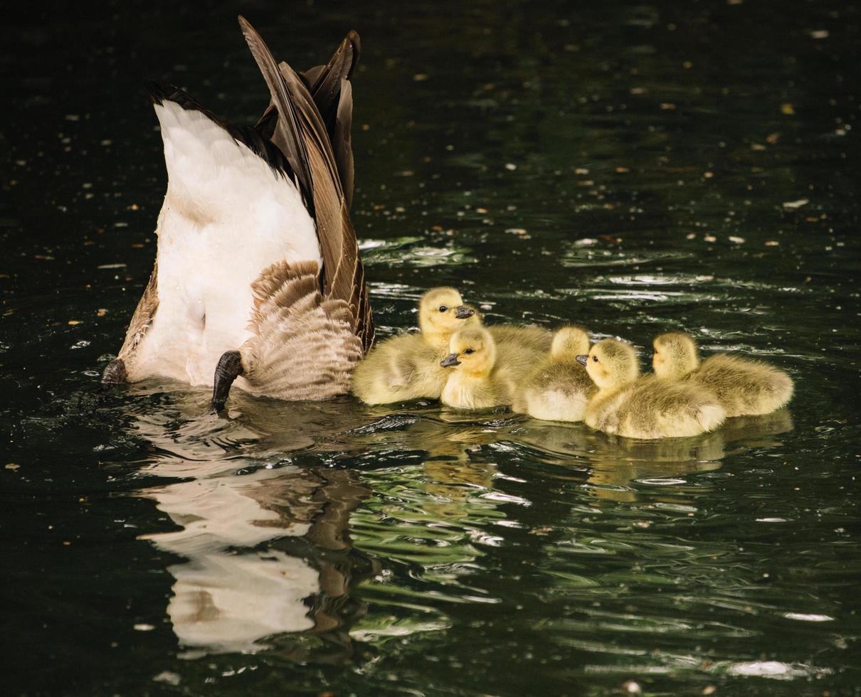 familie van eenden op het water foto
