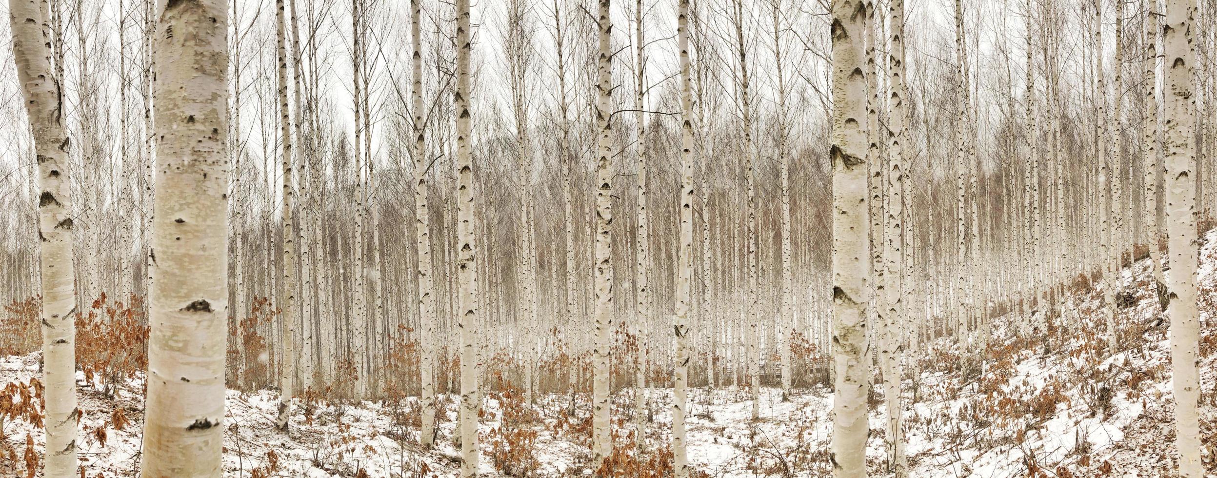 berkenbomen in de winter foto