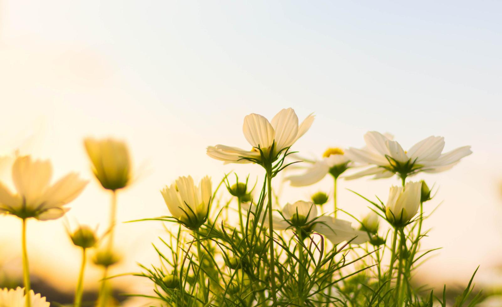 witte kosmosbloem die in zachte nadruk bloeit foto