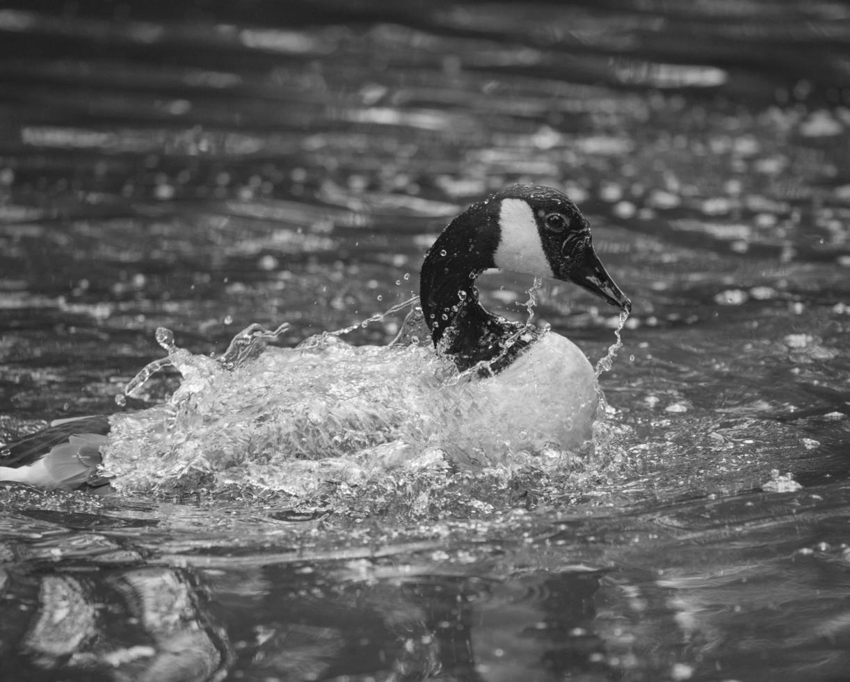eend spatten in water foto