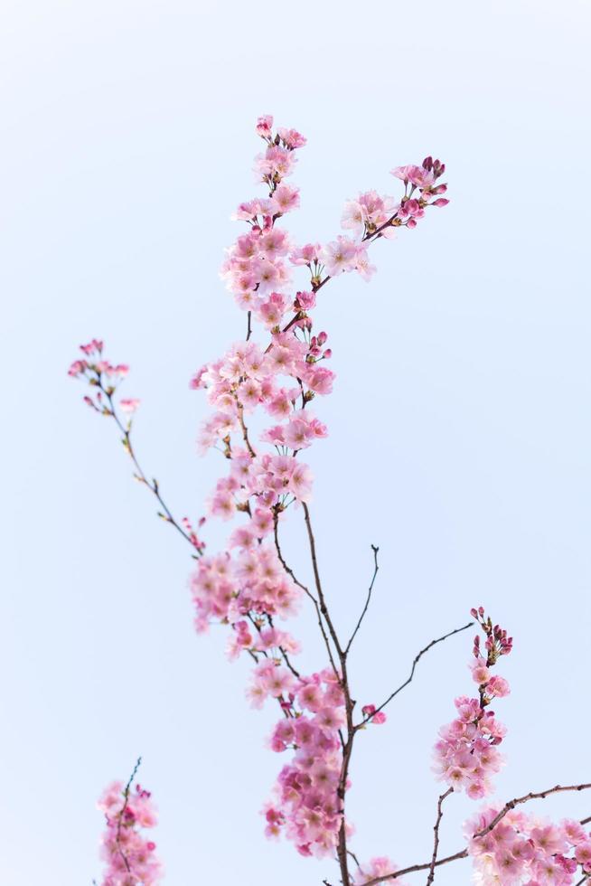 roze kersenbloesems foto