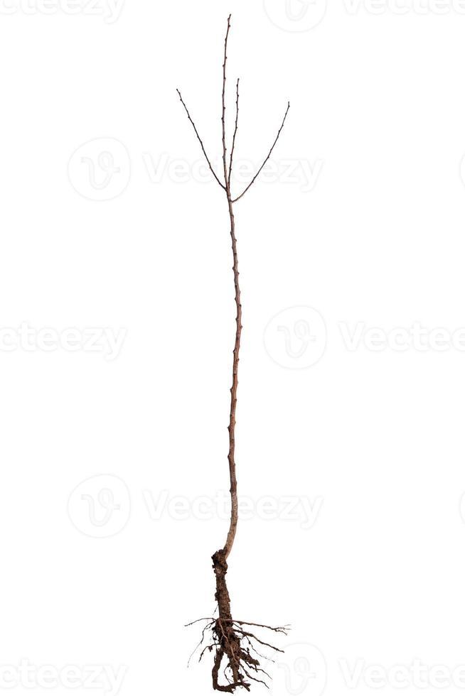 abrikozenboom zaailing foto