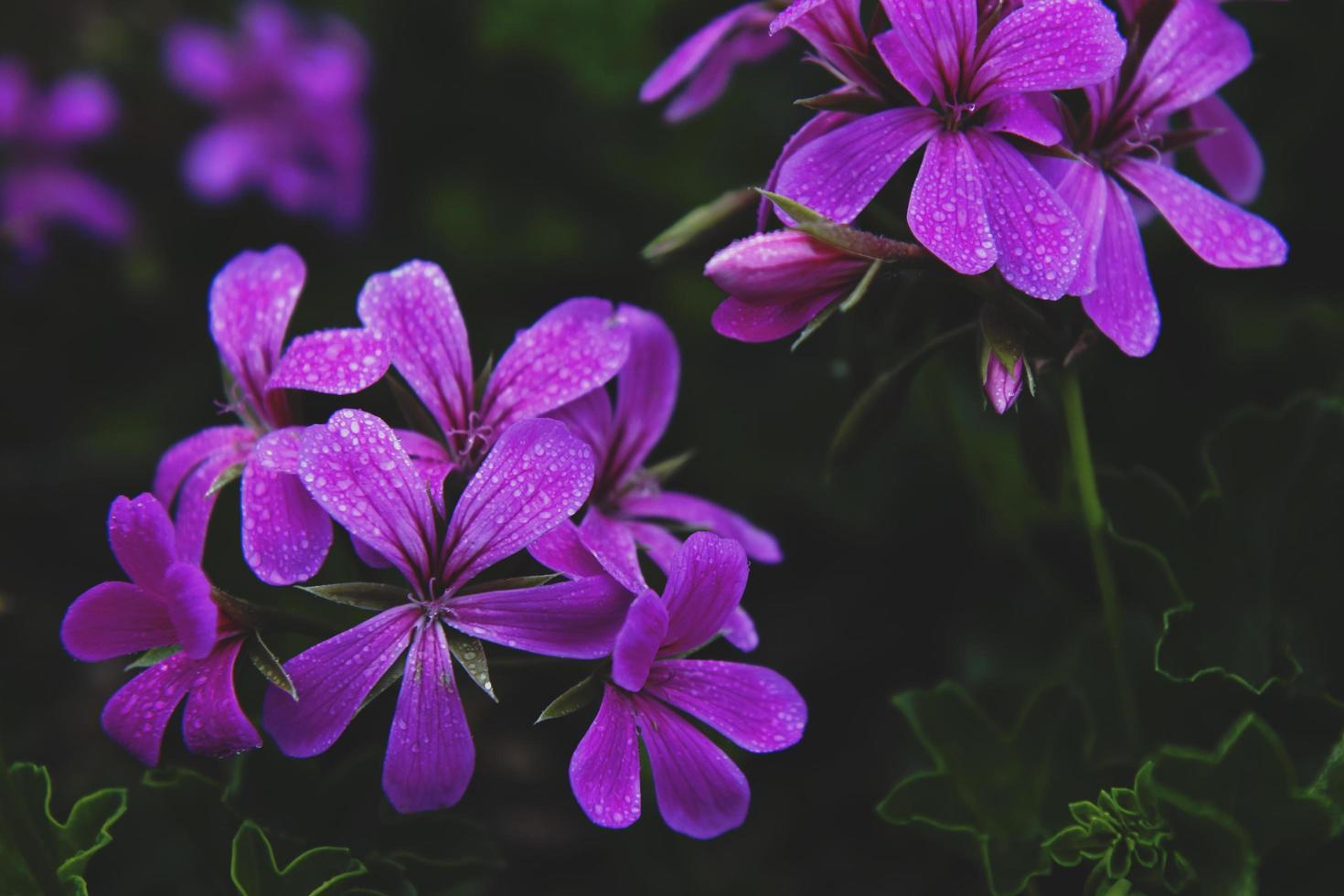 close-up van paarse petaled bloemen foto