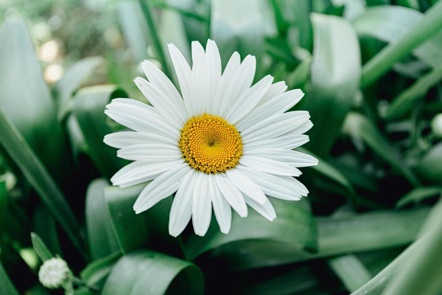 madeliefjebloem met veel bloemblaadjes foto