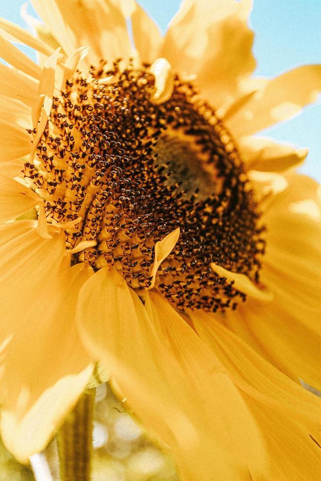 kleurrijke zonnebloem gevuld met bloemblaadjes foto