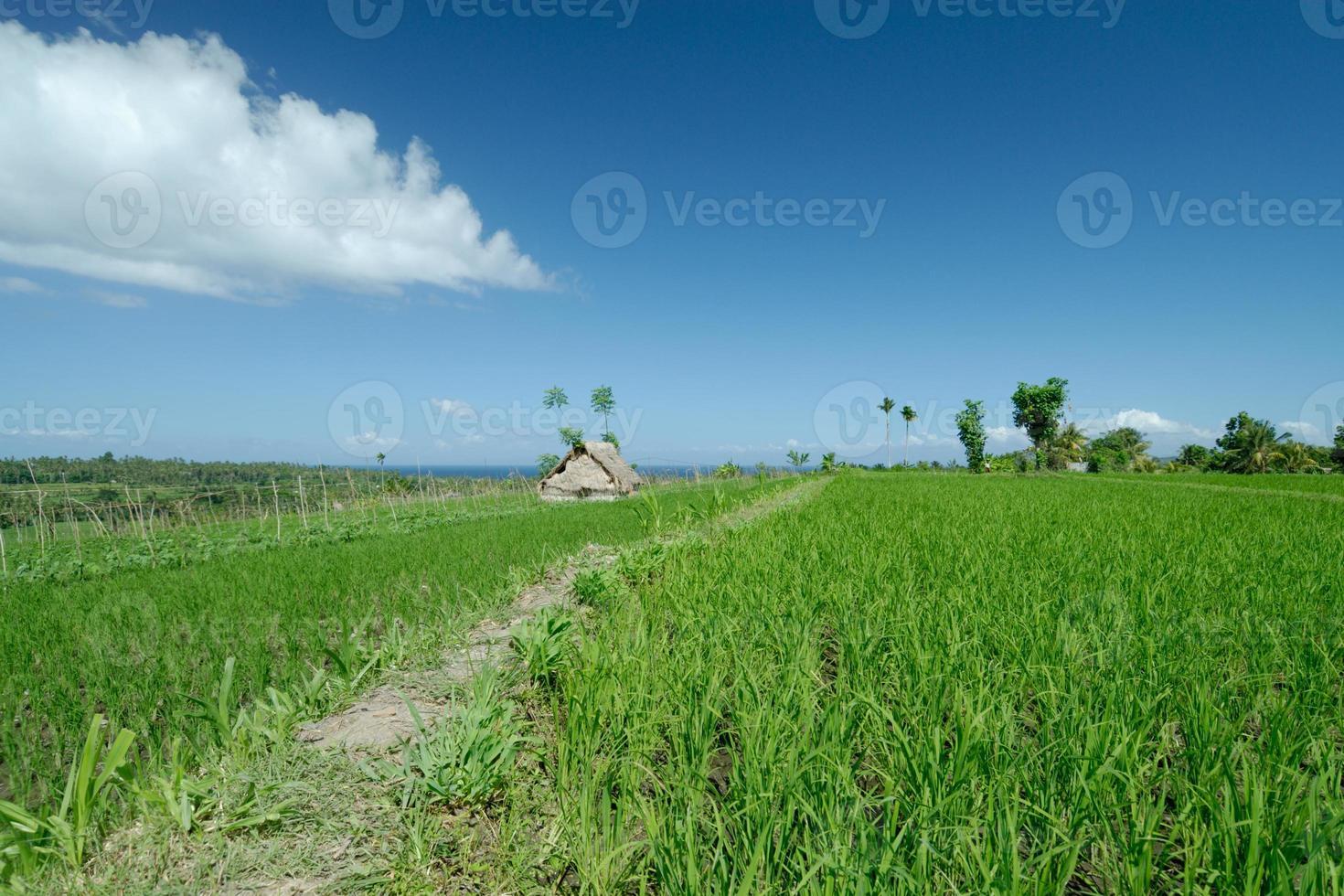 rijstveld in bali foto