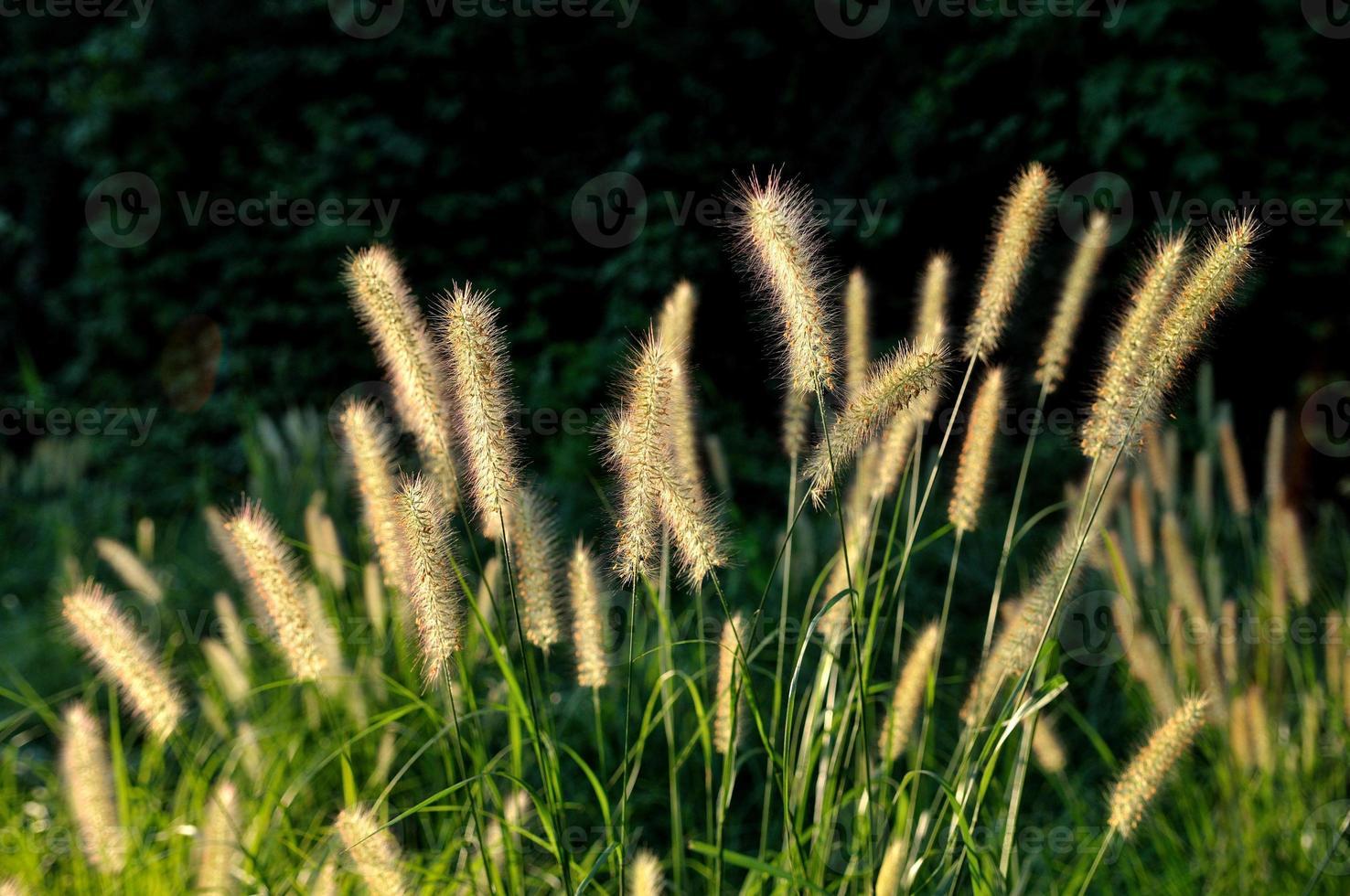 pennisetum bloemhoofd foto