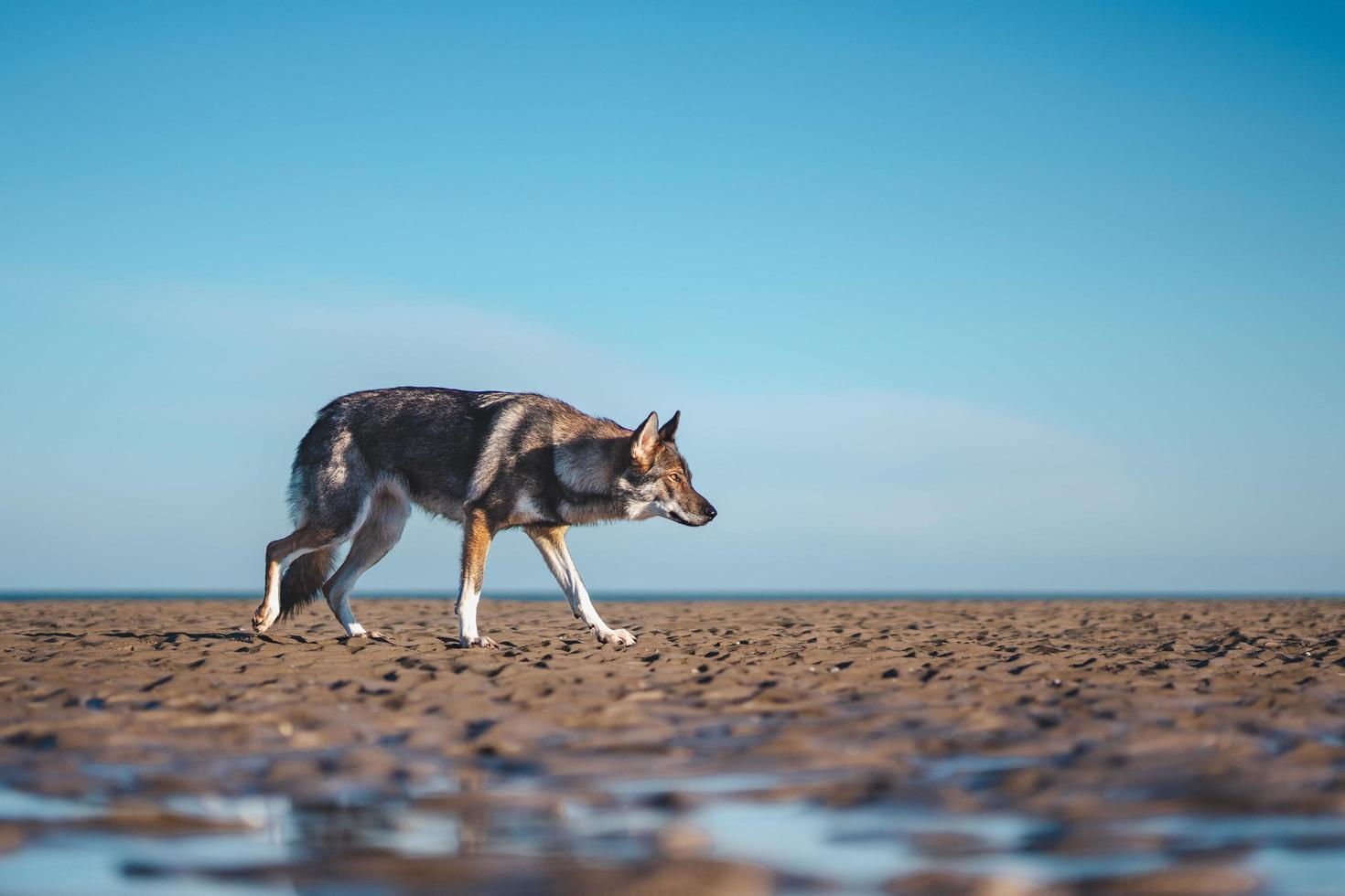 zwarte wolf die overdag loopt foto