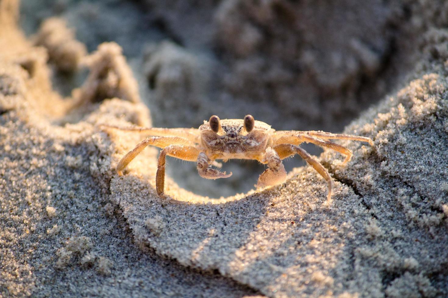 bruine krab op zand foto
