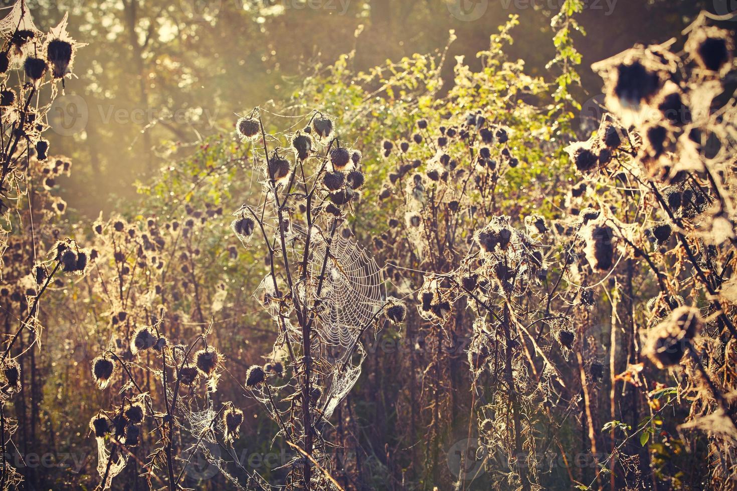 distel met spinneweb foto
