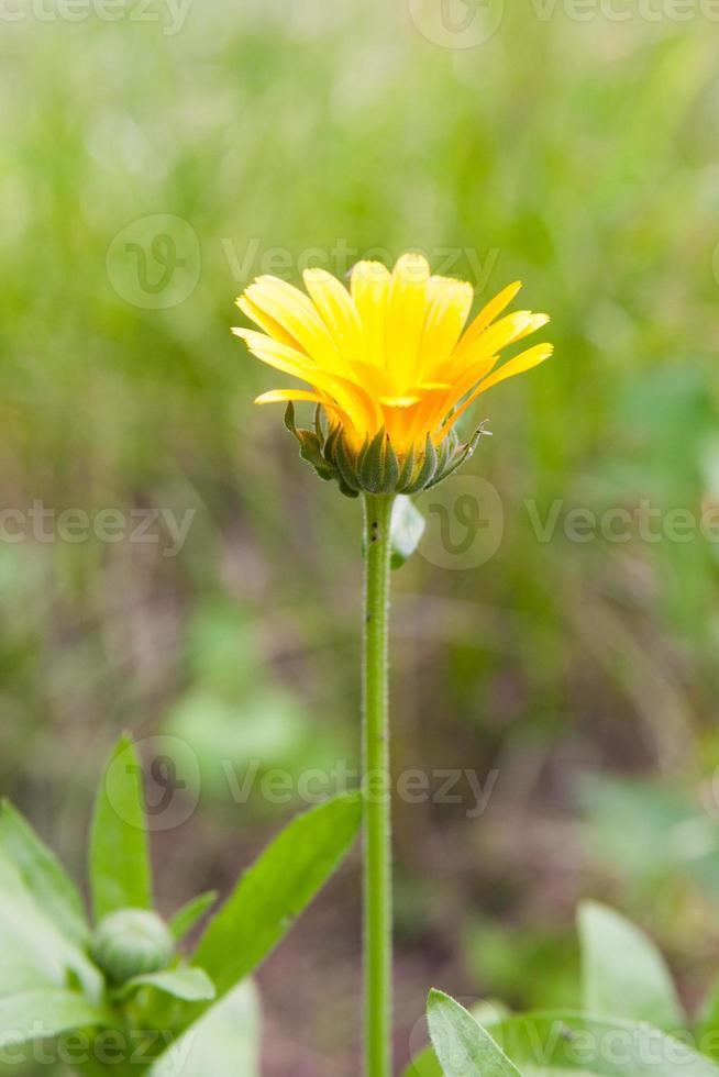 gele en rode bloem in de tuin foto