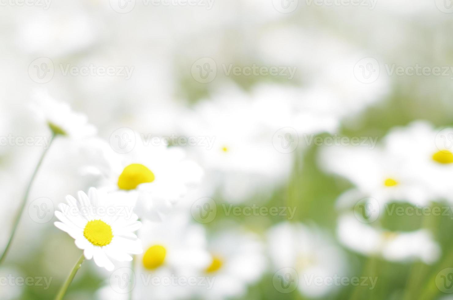 daisy veld foto