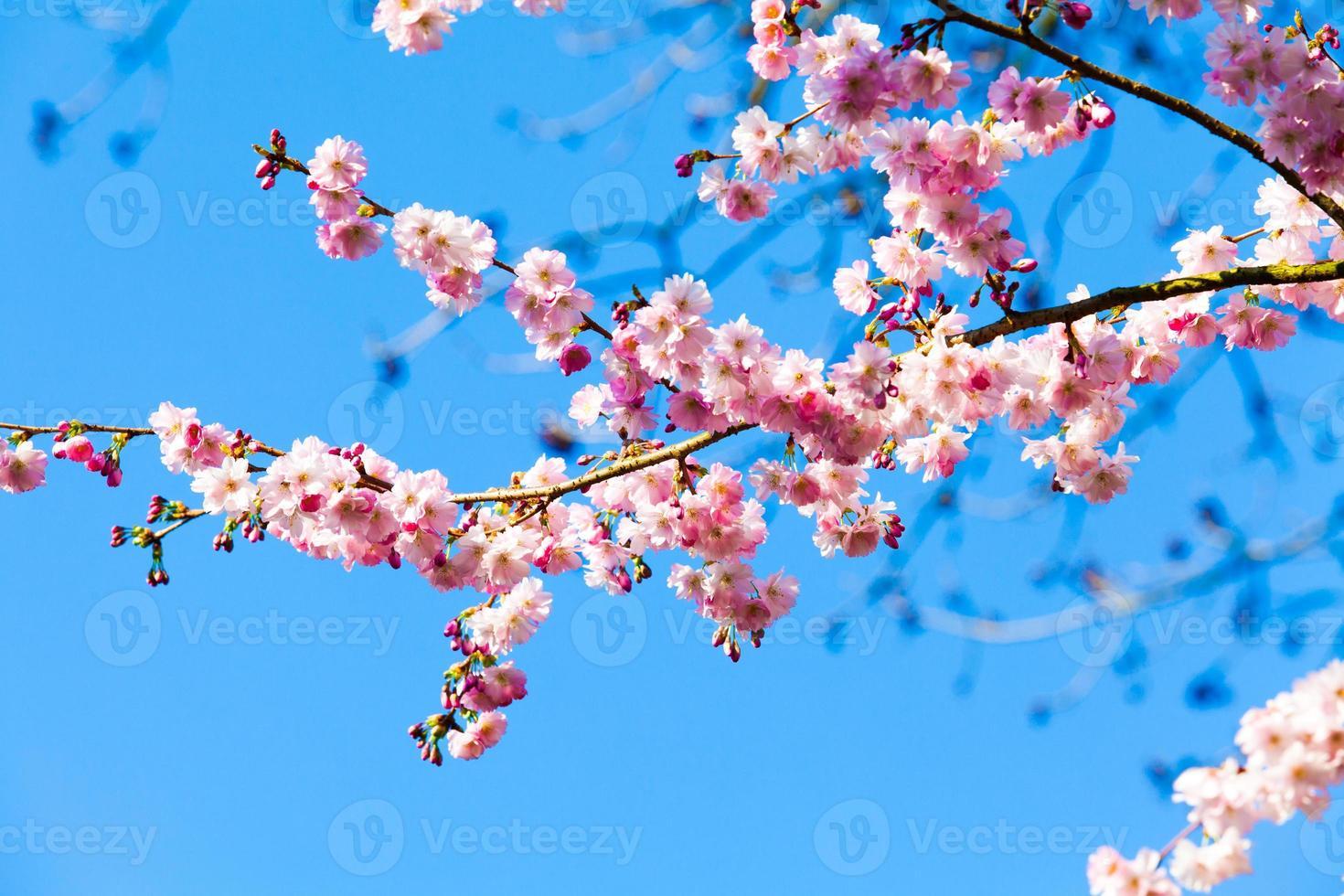 sakura bloemen bloeien. mooie roze kersenbloesem foto