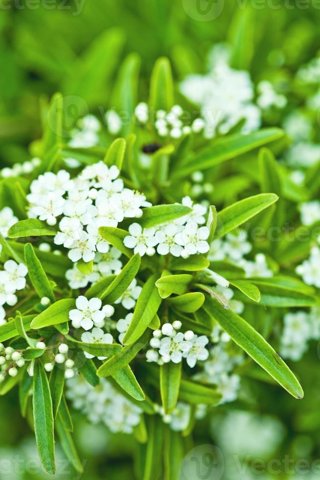 bloeiende boombrunch met witte bloemen foto
