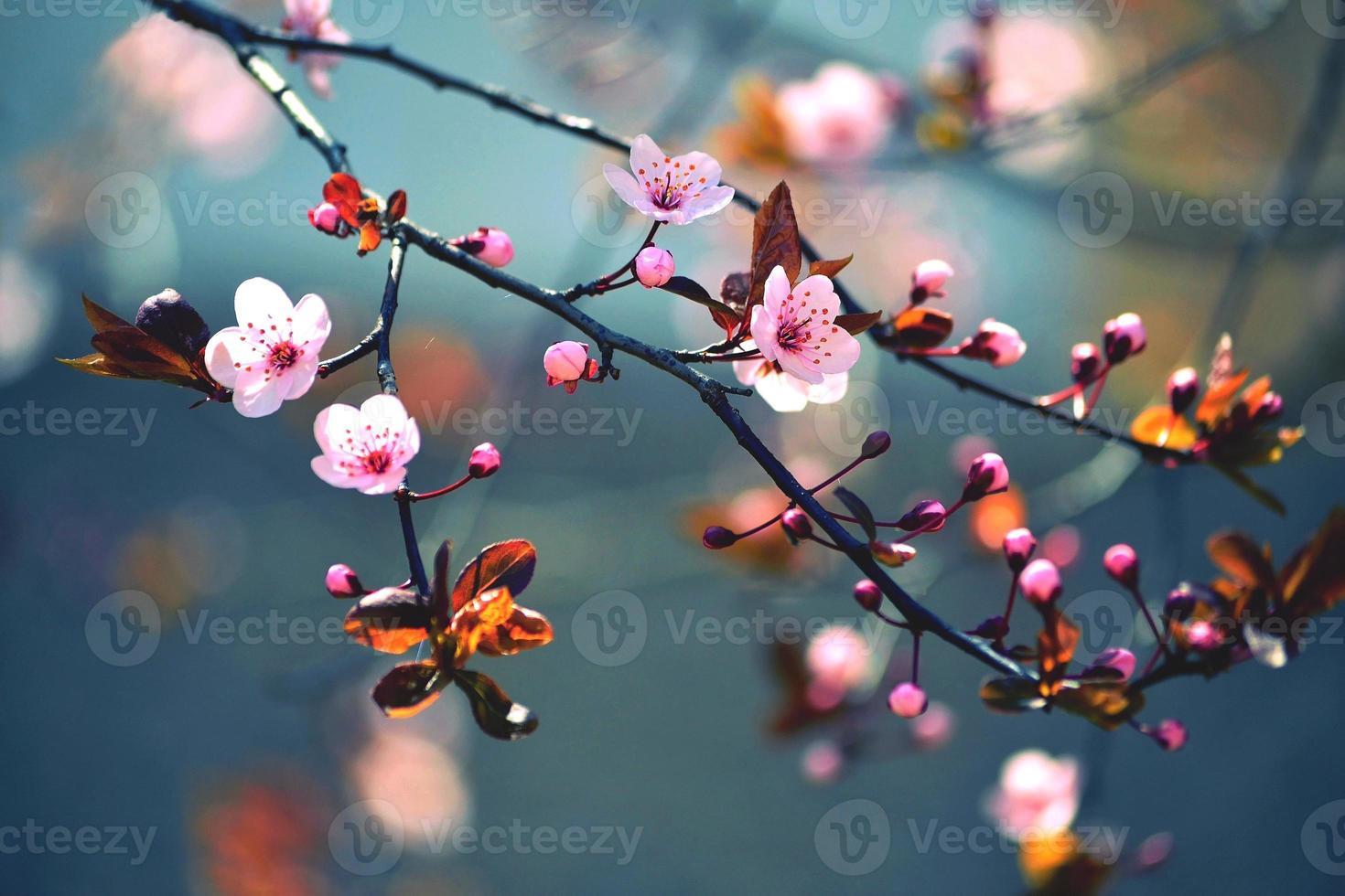 prachtige bloeiende Japanse kers - sakura foto