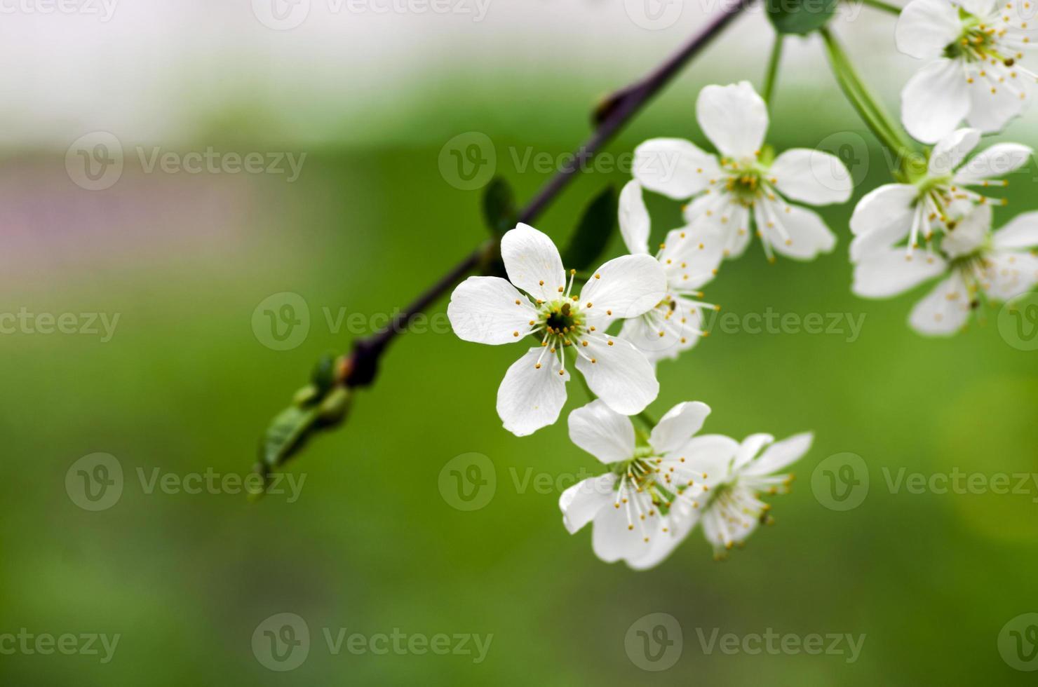 kersenbloesem close-up over natuurlijke achtergrond foto