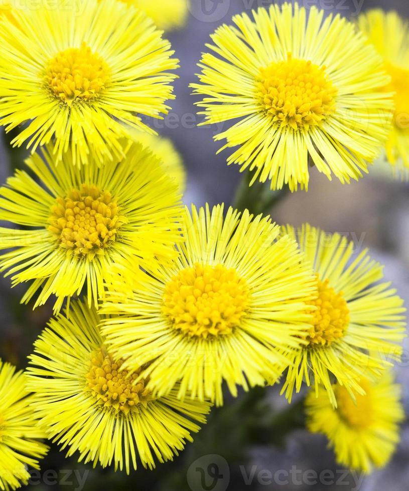 gele klein hoefblad bloemen (tussilago farfara) foto