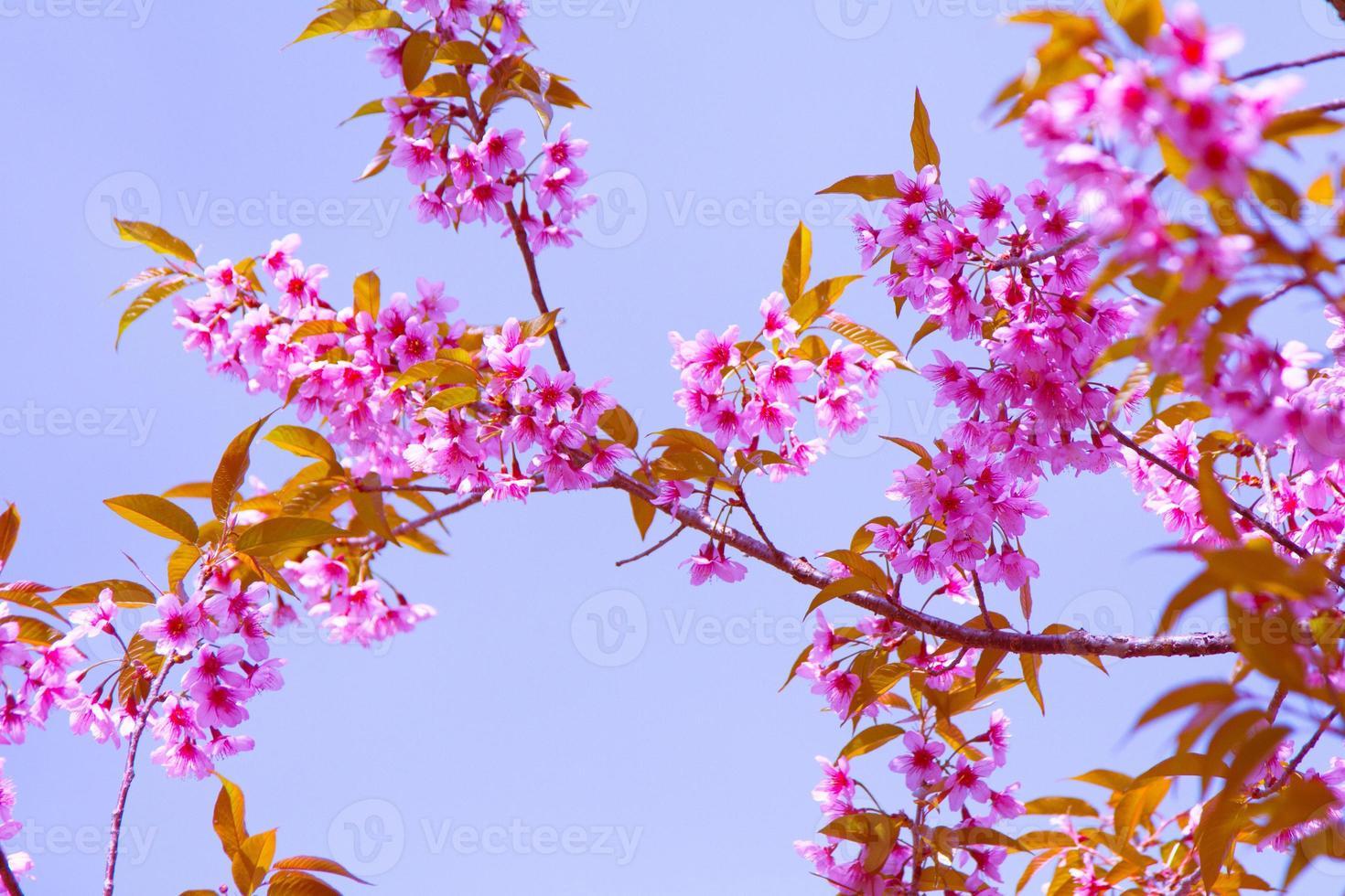 roze sakura bloemen foto